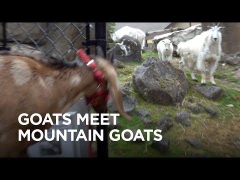 Tiny Goats Visit Mountain Goats