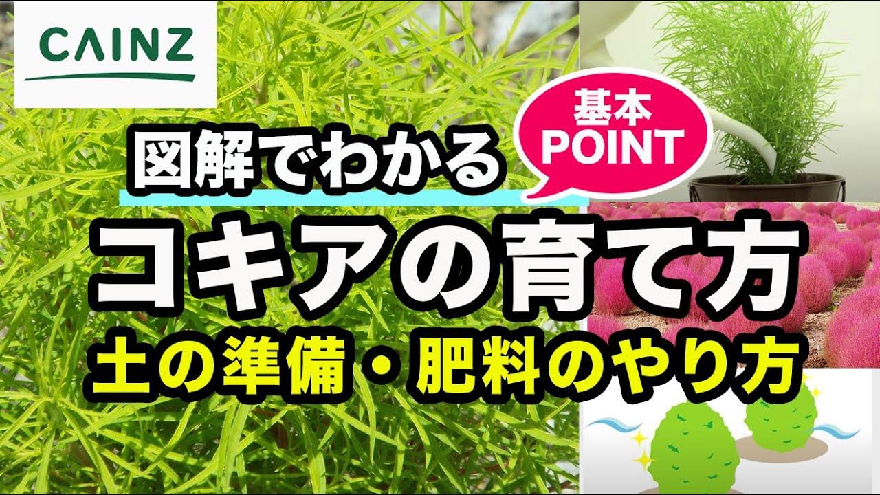 カインズ観葉植物図鑑 コキアの育て方 - YouTube