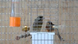 Зеленушка кормит кенарку на кормушке 15.03.2015