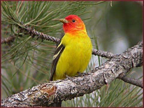 ASMR MORNING SONG BIRDS - ARIZONA SUNRISE