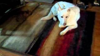 Bugg Puppy and German Shepherd Thumbnail