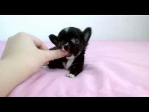 Seth Black White Long Coat Teacup Chihuahua Puppy For 2017