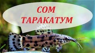 Сом Таракатум в аквариуме размножение, содержание, уход и чем кормить.