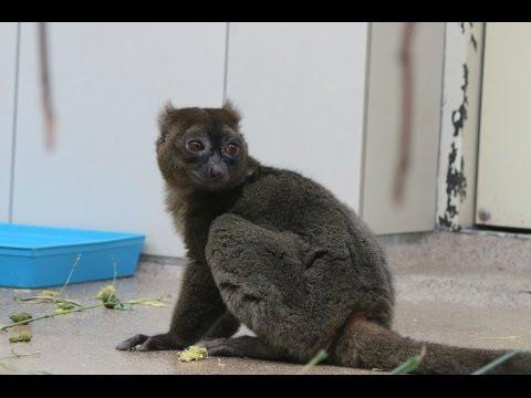 Großer Bambuslemurs / Breedsnuithalfmaki's / Greater bamboo lemurs : Kölner Zoo