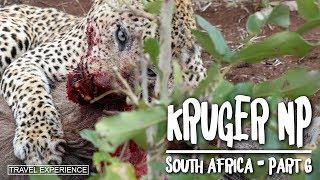 South Africa Part 6 - Kruger Nationalpark (Leopard kills Warthog)