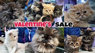 Persian Cats| Pure Punch Face And doll face Kittens | Valentine Special Sale | Gift ur Luv 1s..
