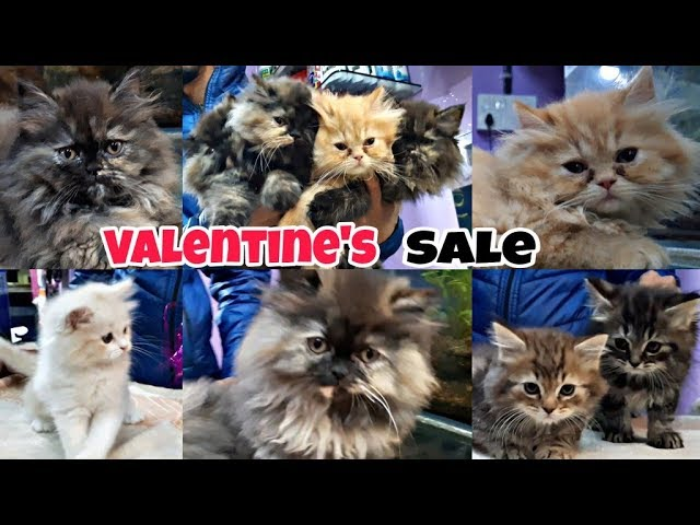 Persian Cats| Pure Punch Face And doll face Kittens