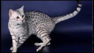 Египетская мау короткошёрстная  среднего размера порода кошек с пятнистым окрасом