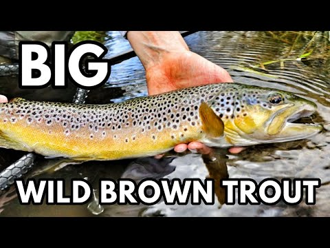 My BIGGEST Brown Trout From The Wye - Wild UK River Fishing Dry Fly