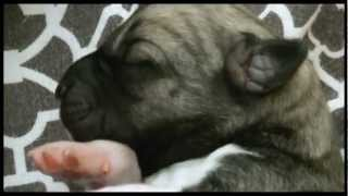 "NEW Kangal Puppies! ""Colonial Kangals"" Livestock Guardian Dogs -Sable"