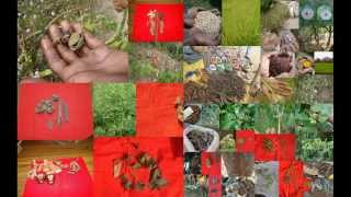Tribal Medicines of Gandhamardan Hills for Bladder tumor: Film by Pankaj Oudhia