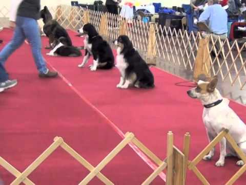 Novice A obedience trial