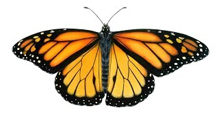 Pk How to draw Monarch butterfly - Stop by stop tutorial for kids coloring