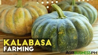 How to grow squash plant or kalabasa | Agribusiness How It Works