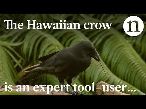 Endangered crow is expert tool-user