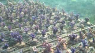 butterfly fish and acropora coralfarm
