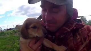 русская гончая щенок. кличка Шатай.