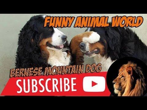 top #1 Funniest Bernese Mountain Dog Videos