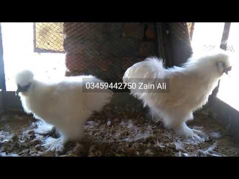 white-silkie-hen-&-rooster-03459442750-zain-ali-farming-in-pakistan