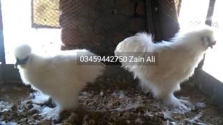 white silkie hen & rooster 03459442750 Zain Ali Farming in Pakistan