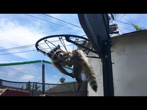 Tanner and Drew - Raccoon Trapped in Basketball Net Is in Trouble With Mom