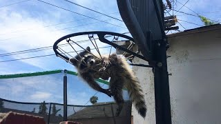 Raccoon Trapped in Basketball Net Is in Trouble With Mom