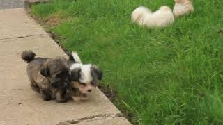 Havanese Puppies For Sale Daily Motion Video Funny