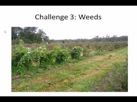 Organic Blueberries in South Chile: Challenges for Growers