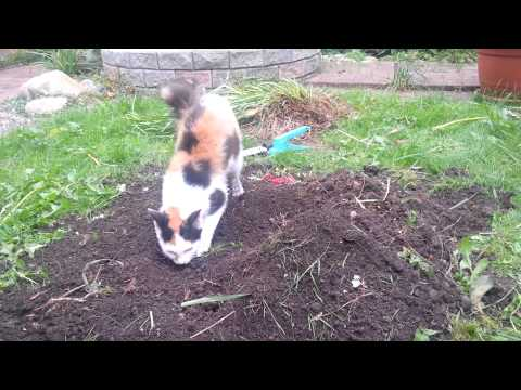 LaPerm cat playing in the dirt.