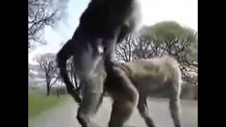Самое смешное видео про животных. Екстримальный секс на капоте