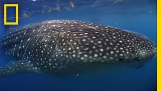 Photographing the World's Biggest Shark | National Geographic