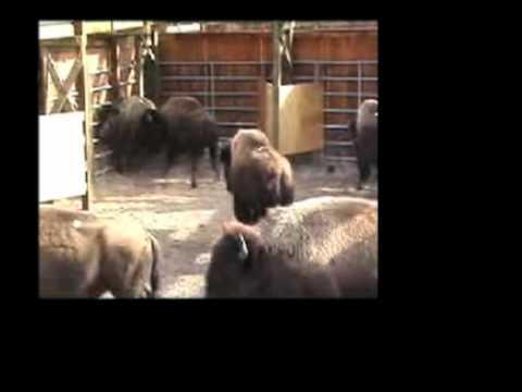 Yellowstone Wild Buffalo Slaughter