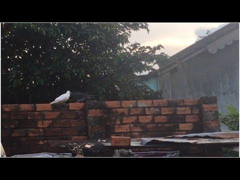 Chim Bồ Câu | Minh TV