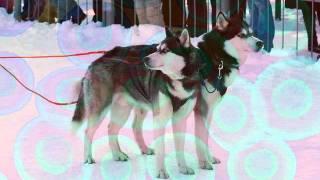 - Siberian Husky  And Colors  - By  Tony Di Maio