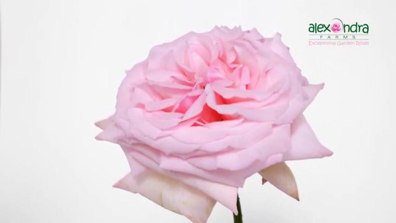 Pink Ou0027Hara Garden Rose Timelapse