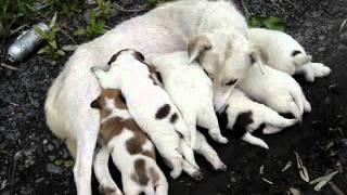 野良犬のシロちゃんと7匹の子犬ちゃんです。 ただいま授乳中。大きく育...