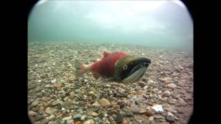 Adams River Salmon Run 2013