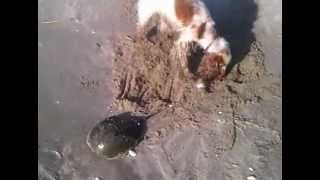 Callie English Cocker Spaniel Vs. Anonymous Horseshoe Crab, Sandy Hook, Nj