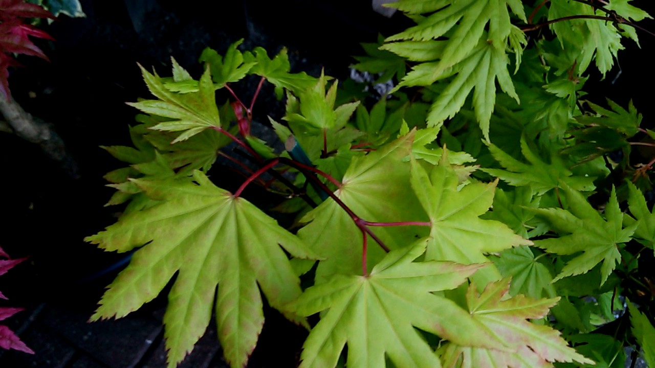 Acer Shirasawanum Autumn Moon 30th May 2017 For Sale At The Mill