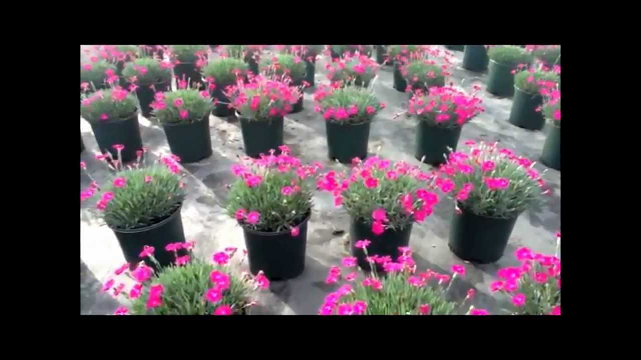 Best Flowering Perennials Dwarf Garden Pink Dianthus Neon Star