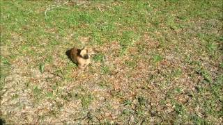 Royalworth's Dancing Follow | An English Cream Brindle Longhaired Miniature Dachshund Male Puppy
