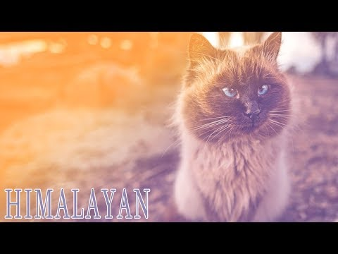 Ideal Companion: Himalayan | Cat Breeding Videos
