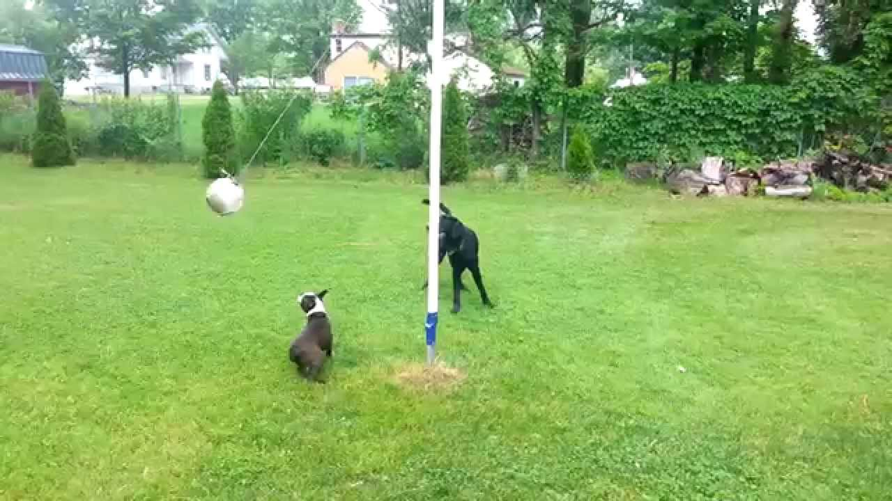 tetherball dogs youtube