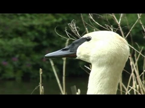 Trumpeter Swan Trumpeting and Honking Video & Sounds : Trumpet of The Swan