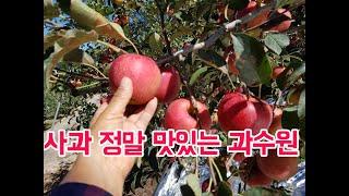 사과 정말 맛있는 과수원 영주사과
