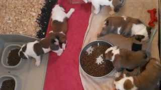 Bulldog Puppy Potty Training From the Start