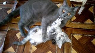 Упрямый котенок и неумолимая, строгая мама-кошка. Кошка-мать говорит, ругает котенка.