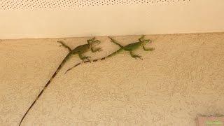Четыре Игуаны ползают по стене дома (Iguana iguana)