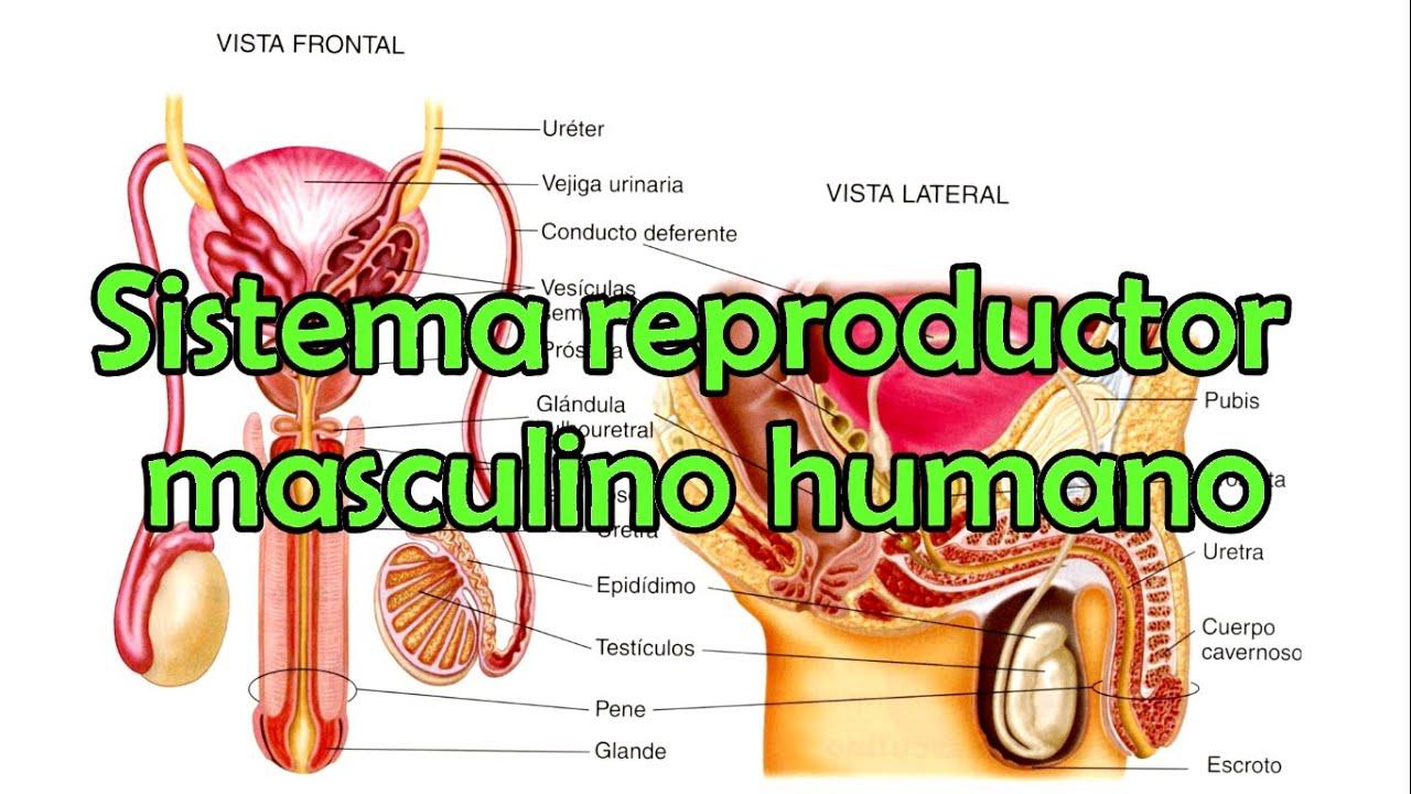 Atractivo La Imagen Del Sistema Reproductor Masculino Humano Regalo ...