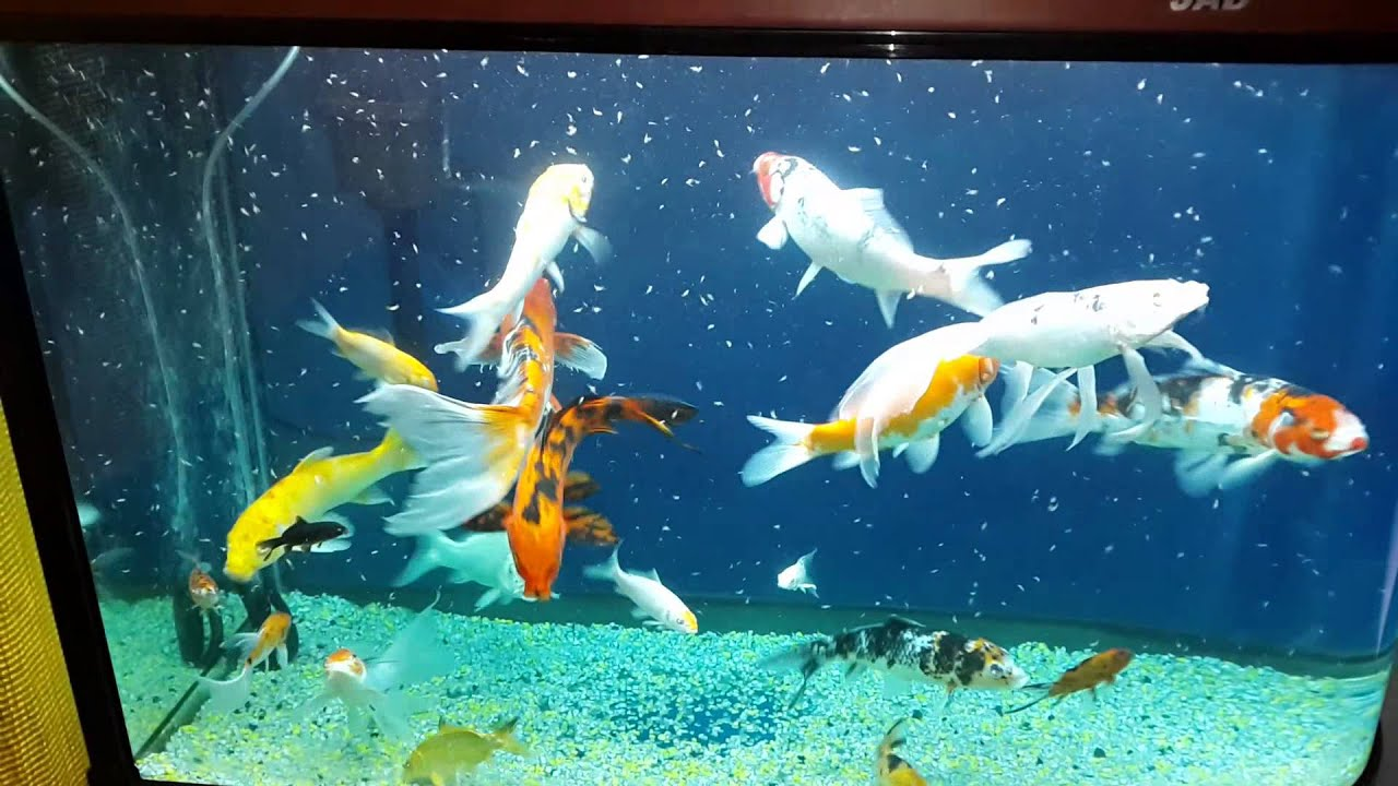 Joel vera peces koi en acuario youtube for Carpas para acuario